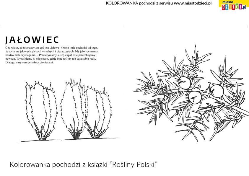 Jałowiec na kolorowance rośliny Polski