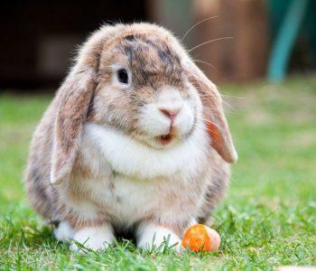 pokaz królików