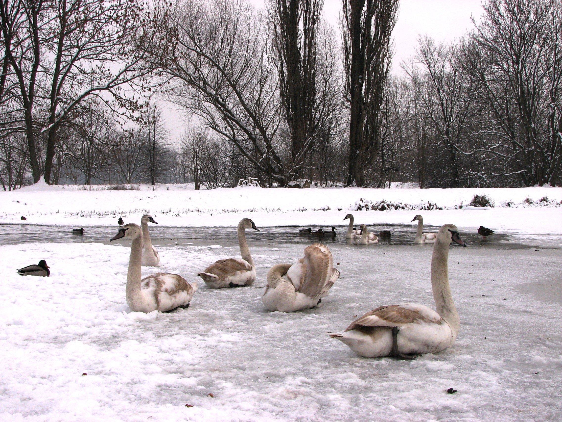 ptaki-zimujace-w-ujsciu-potoku-sluzewieckiego-fot-julia-dobrzanska