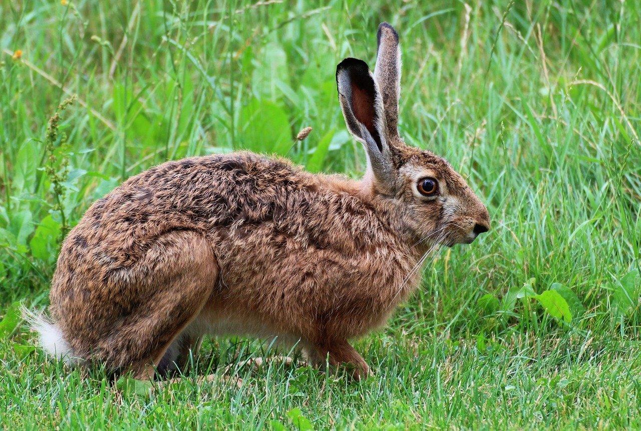 Ancy pancy zajaczek