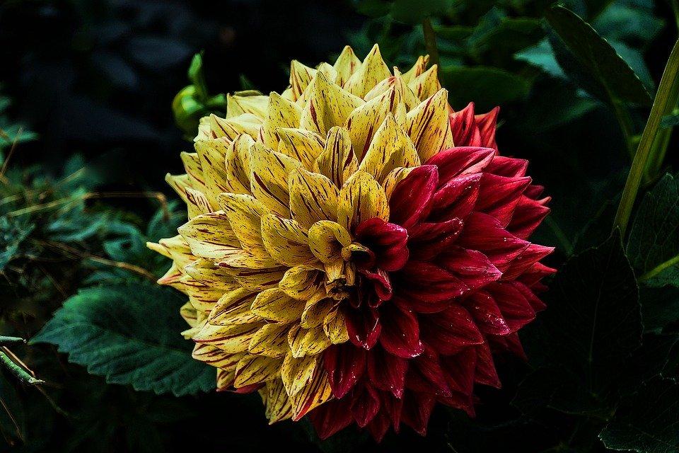 kwiat dalia roślina ozdobna