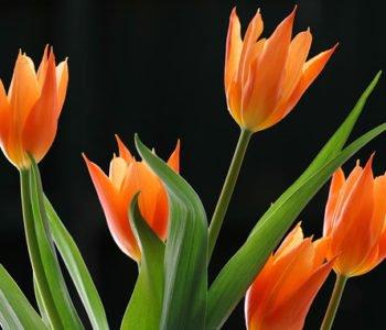tulipany_1