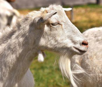 Koza, masło i ser