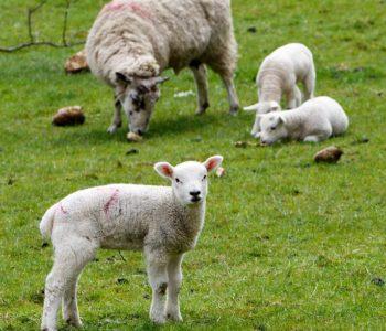 owca i jagnie