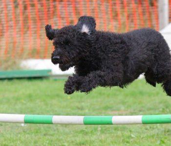 Świeto psiej zwinności - zawody Agility