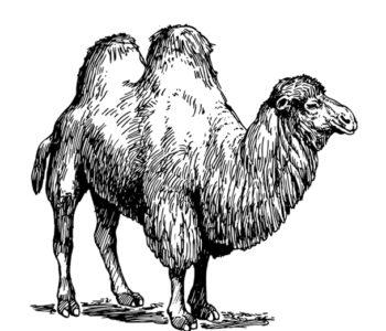 Wielbłąd kolorowanka dla dzieci do druku