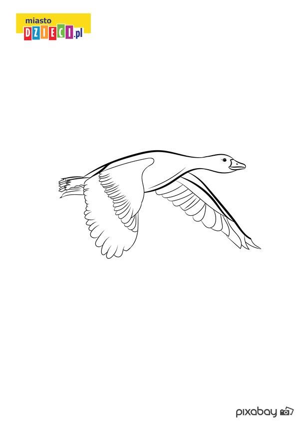 Kolorowanka z lecącą kaczką do druku