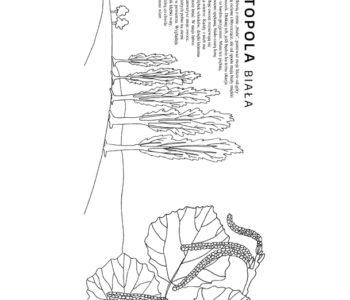Topola biała – kolorowanka