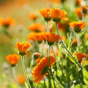 Calendula field – close up-scr