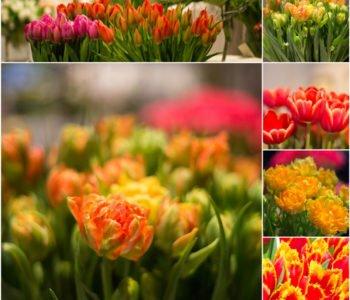 X wystawa tulipanów w Wilanowie