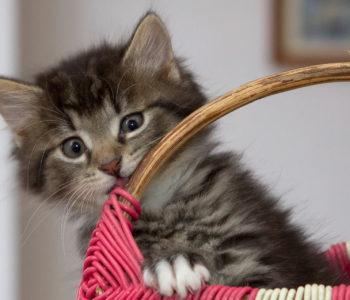 Kotek Puszek z czarną łatką