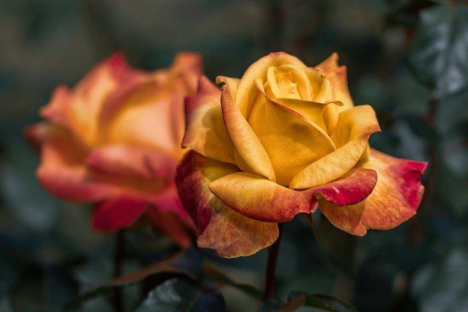 Kultura Dostępna dla rodzin: Zielnik kaligraficzny – róże historyczne