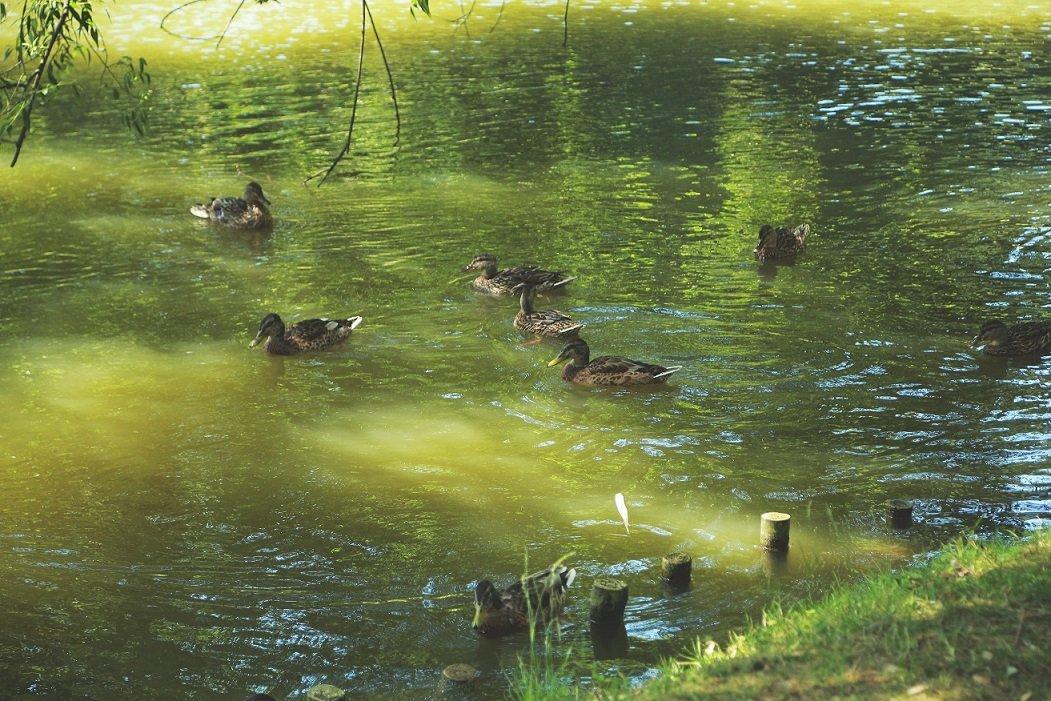 Czy kaczka lubi wodę? – ptaki środowisk wodnych - Wakacyjne Spotkania Rodzinne