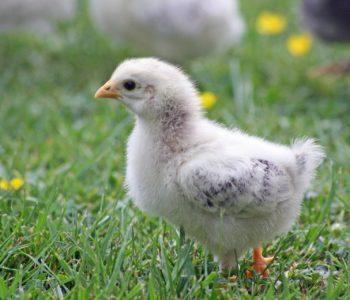 jajko czy kura wierszyk dla dzieci