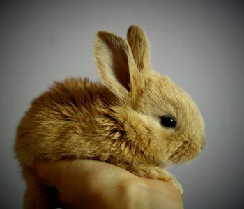 Pokaz królików rasowych