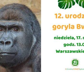 12. urodziny goryla Bwany