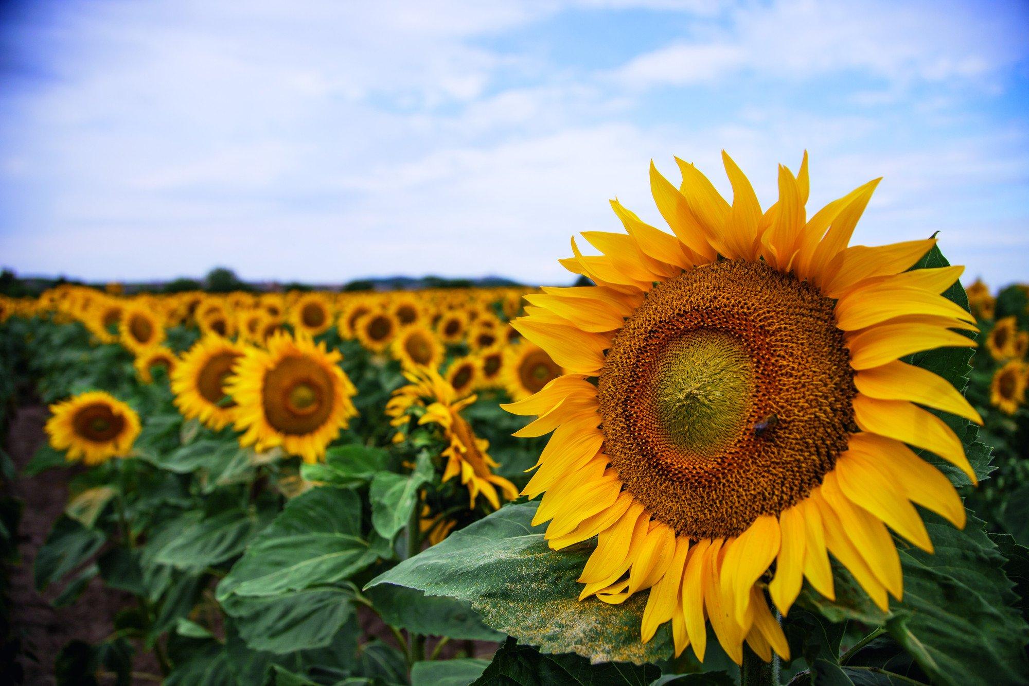 Zagadki dla dzieci z odpowiedziami kwiaty słoneczniki