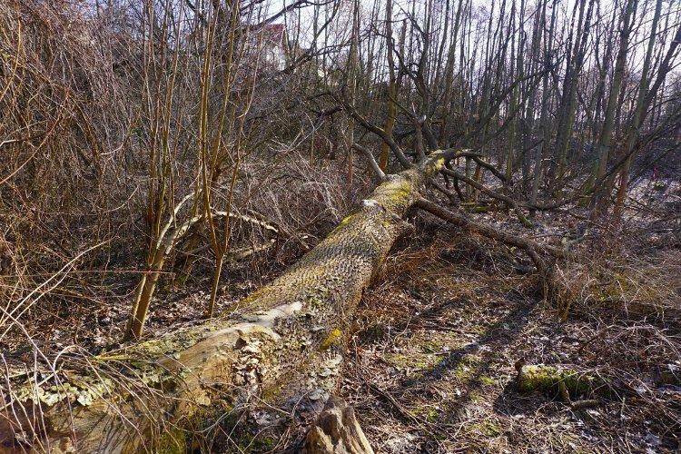 Martwe drewno, ale czy na pewno? - Leśna Improwizacja