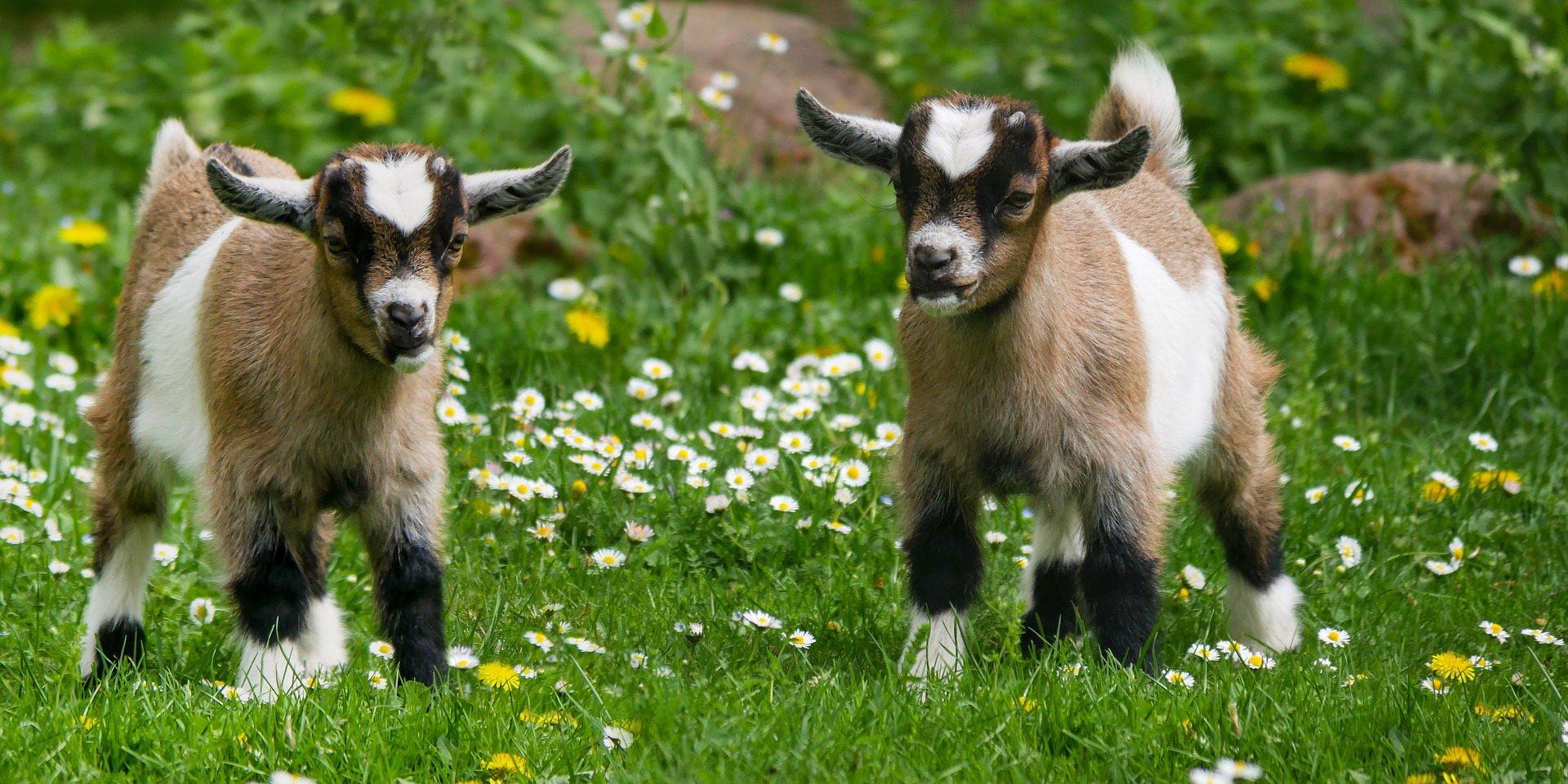Zagadki dla dzieci z odpowiedziami zwierzęta gospodarsie koza