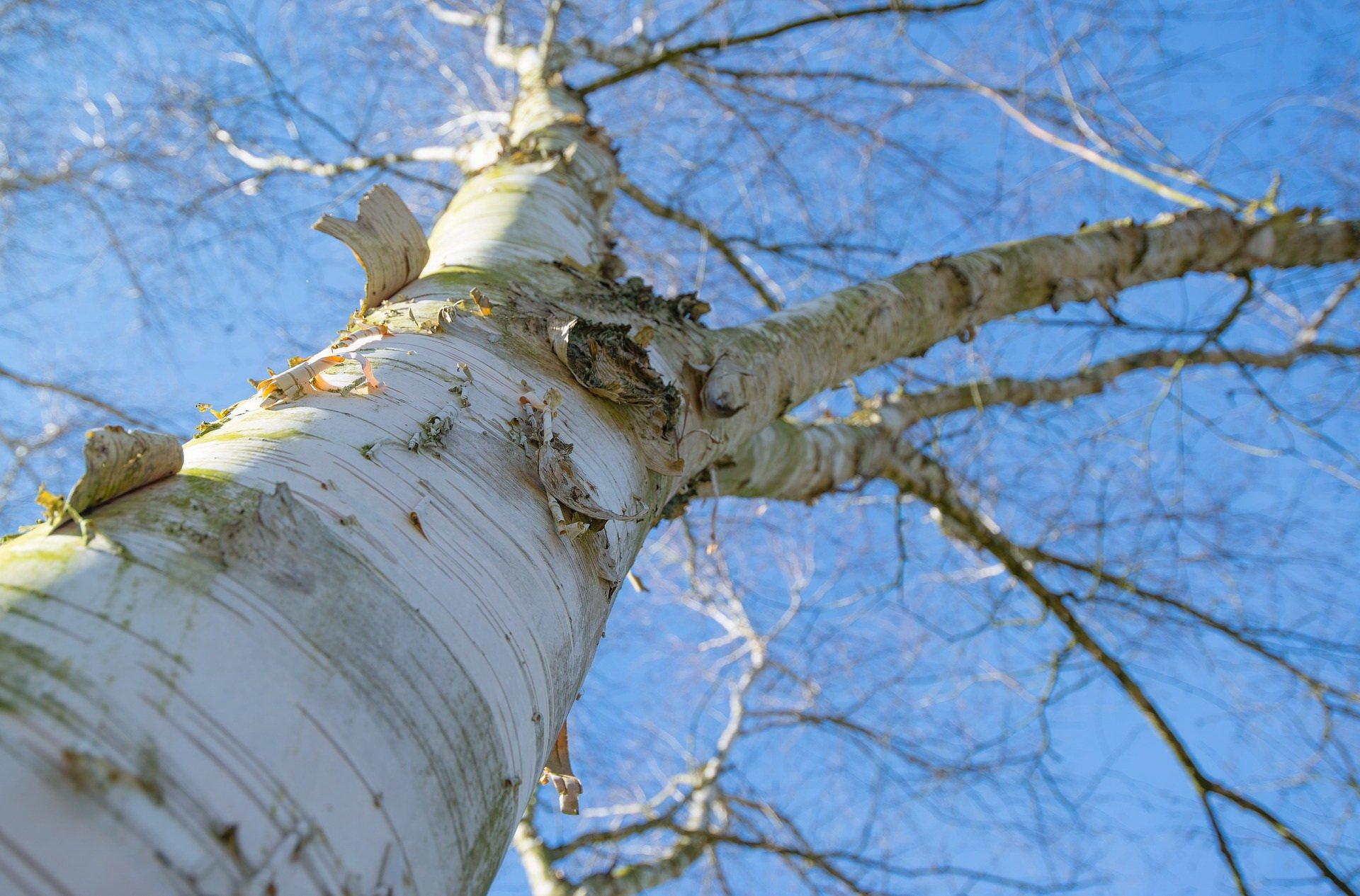 brzoza zagadki o drzewach