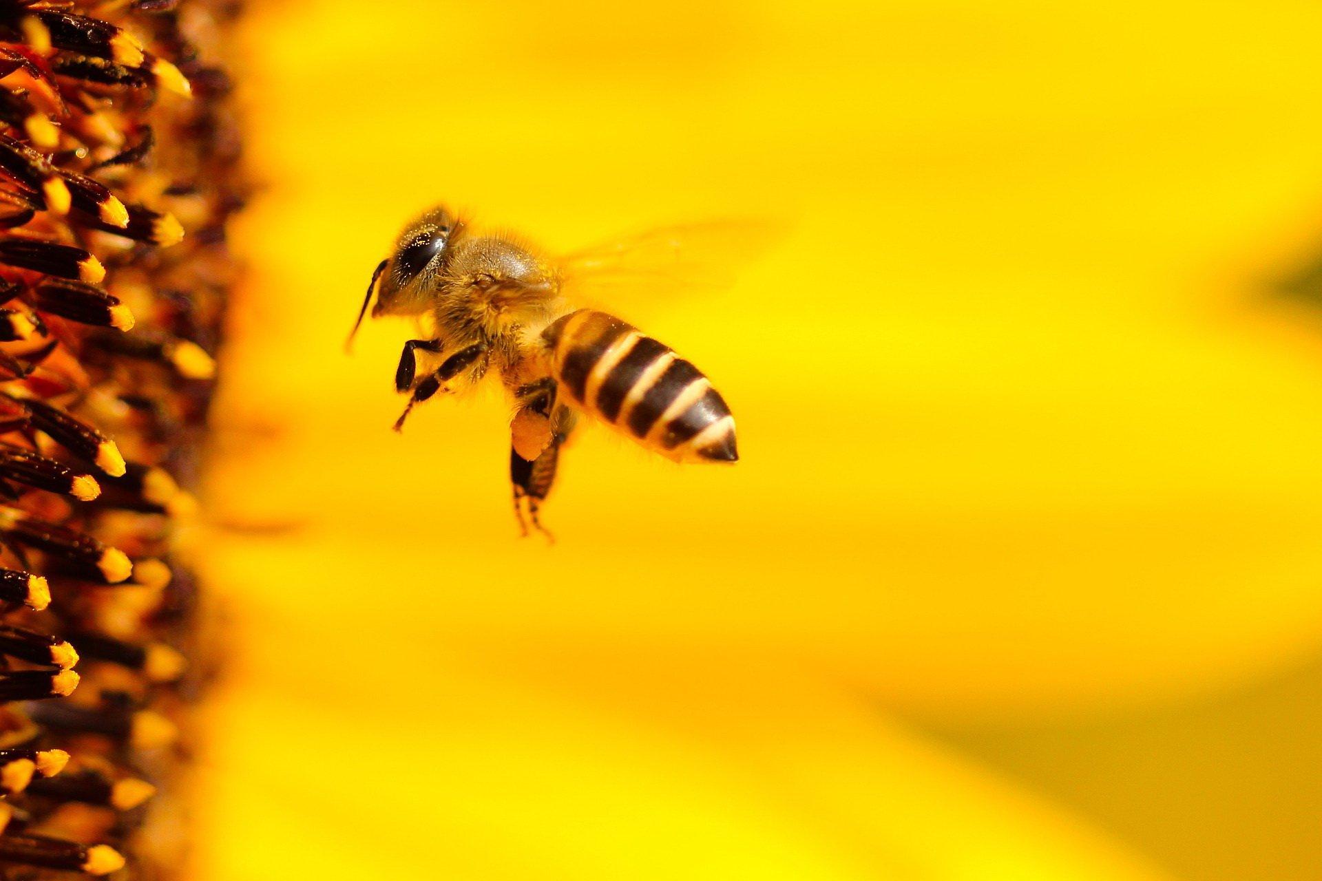 Zagadki dla dzieci o zwierzętach pszczoła