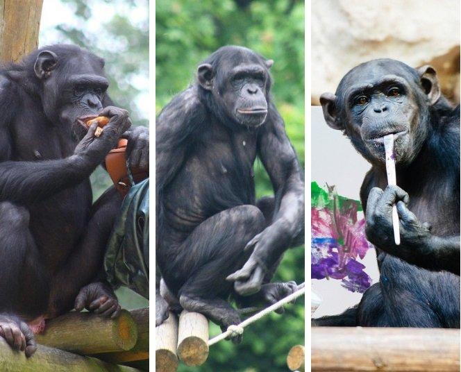 Szympansie urodziny Lizy, Mandy i Lucy