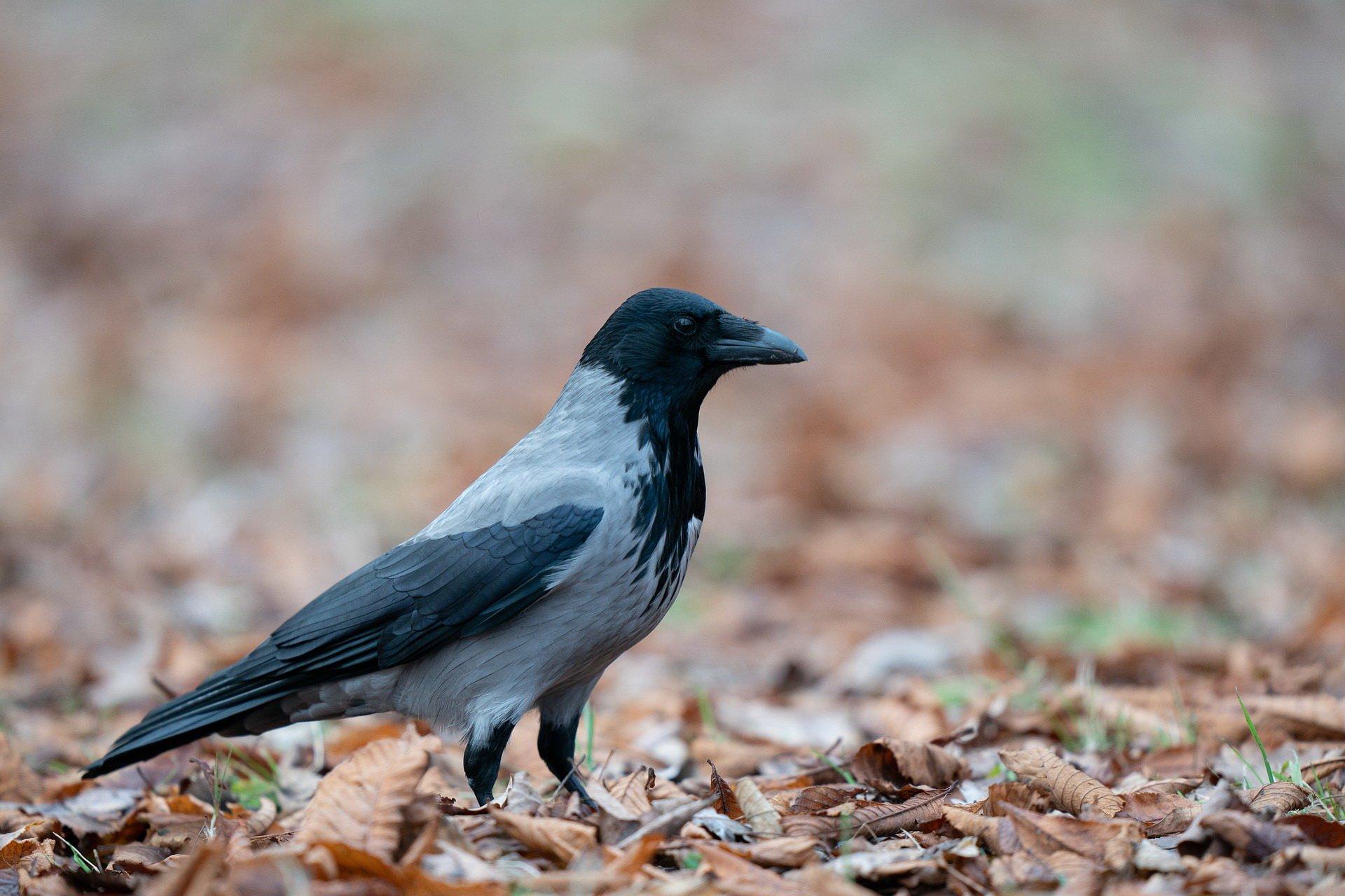Wrona zagadki o ptakach zwierzętach z odpowiedziami