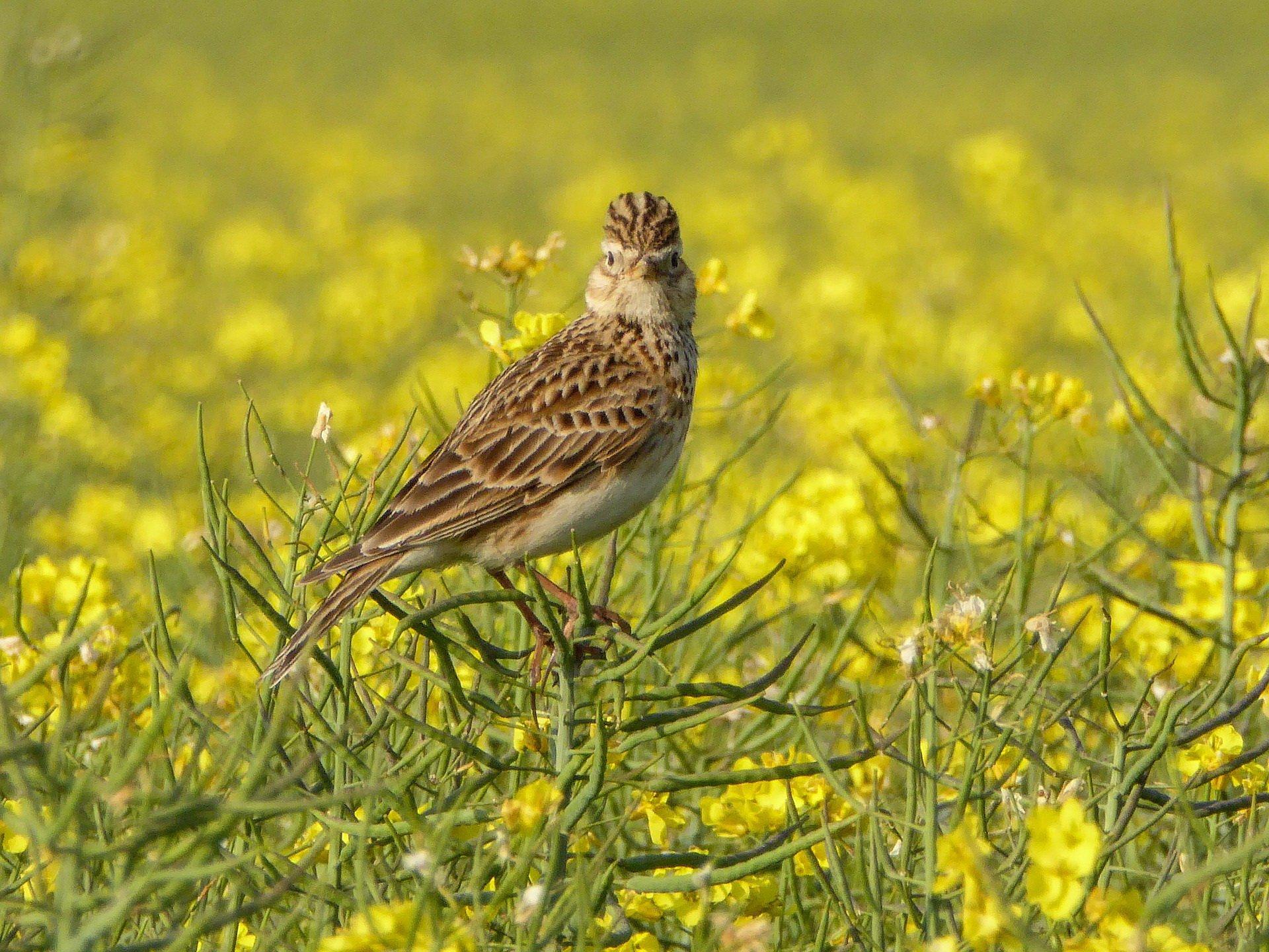Skowronek zagadki o zwierzętach ptakach z odpowiedziami