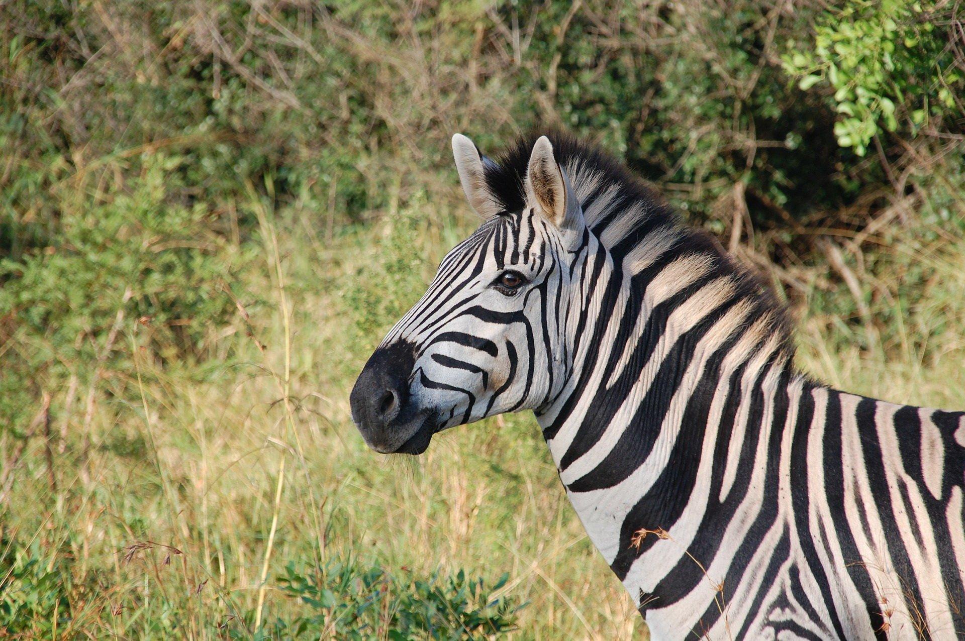Zagadki o zwierzętach egzotycznych z odpowiedziami zebra