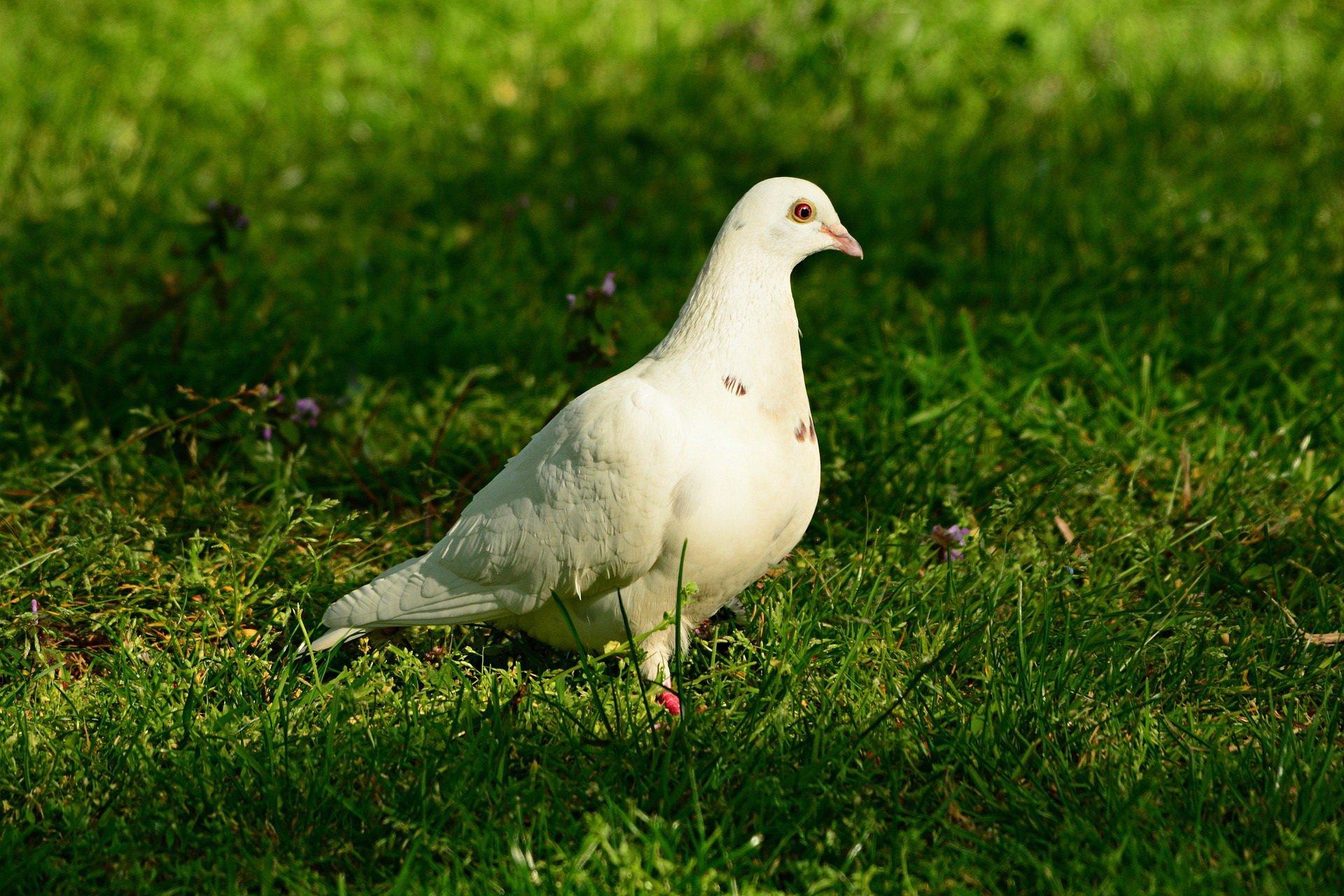 Gołąb zagadki o ptakach zwierzętach z odpowiedziami