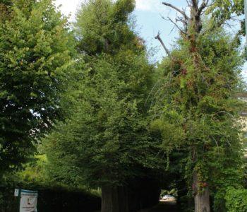 Drzewa w mieście. Jemioła i jej żywiciele. Spacer przyrodniczy