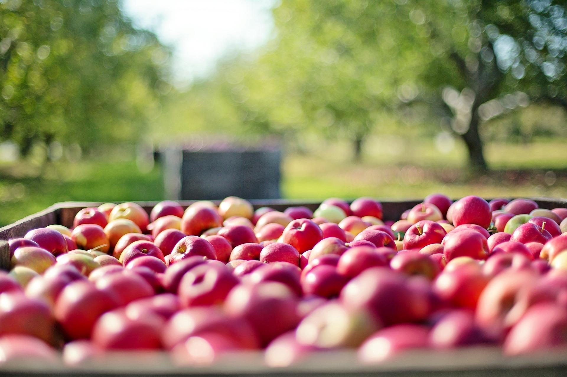 dzien jabłka