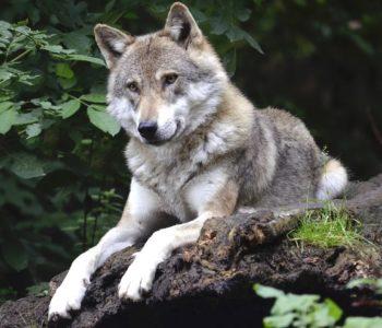 Zwierzęta przeklęte. Wilk – oprowadzanie kuratorskie. Bytom
