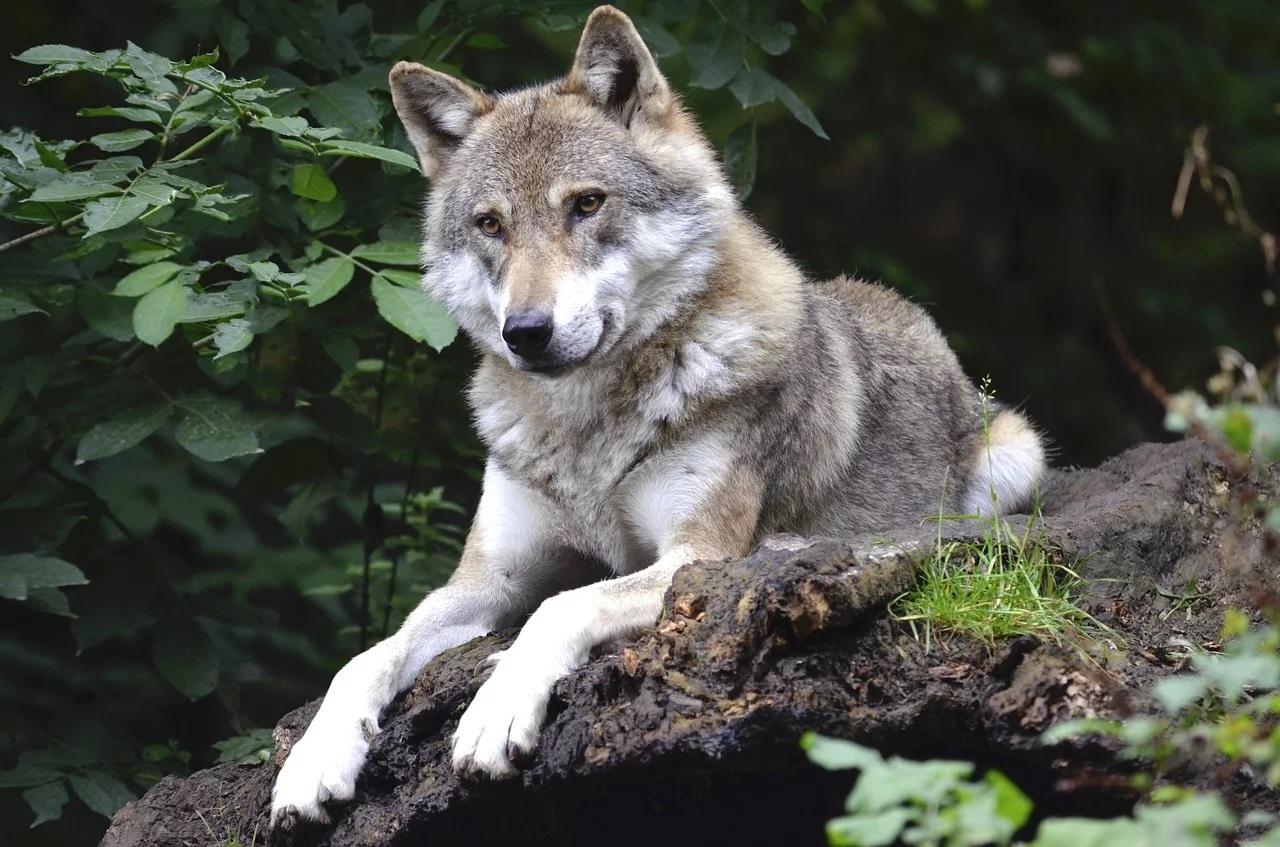 Zwierzęta przeklęte. Wilk – oprowadzanie z kuratorem. Bytom