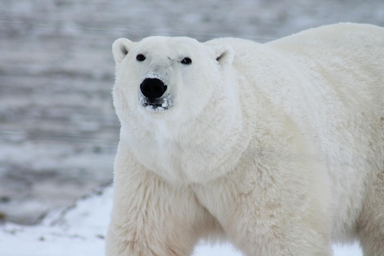 Leniwa niedziela: Polarne zwierzęta