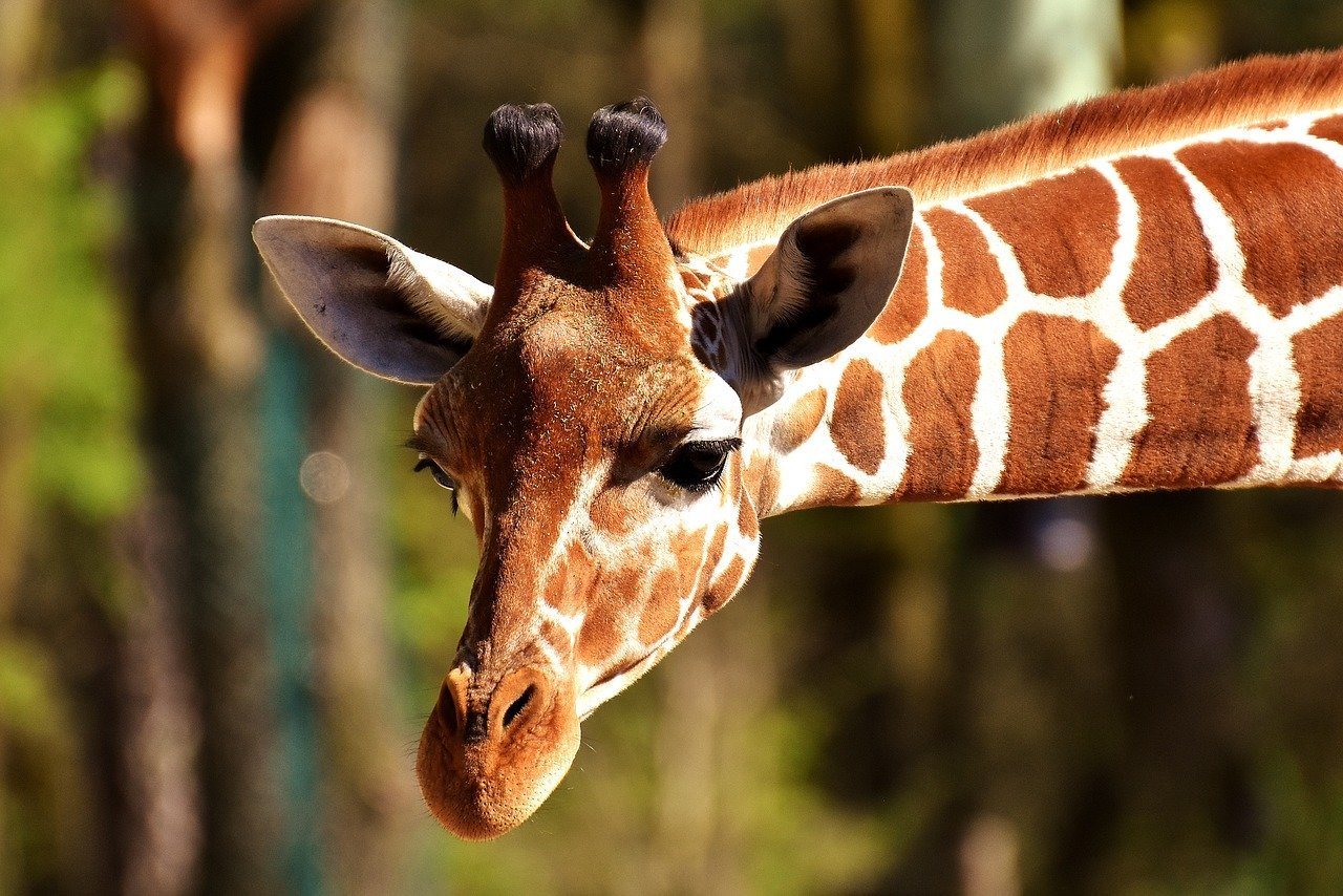żyrafa pixabay
