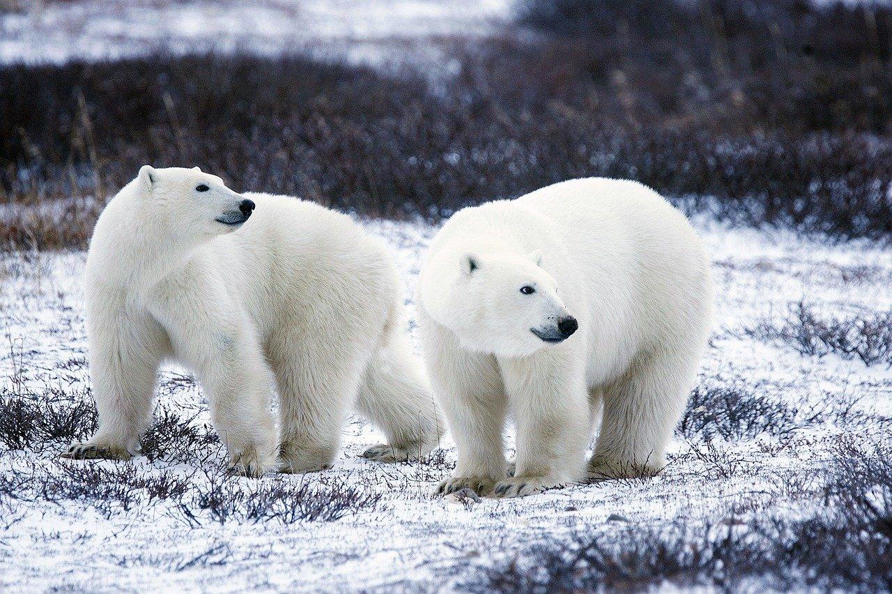 Ouwehand Zoo polarne niedźwiedzie