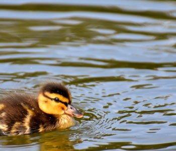 Wierszyk o kaczce, wierszyki i piosenki dla dzieci o zwierzątkach
