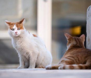 Rasy kotów - test wiedzy o kotach