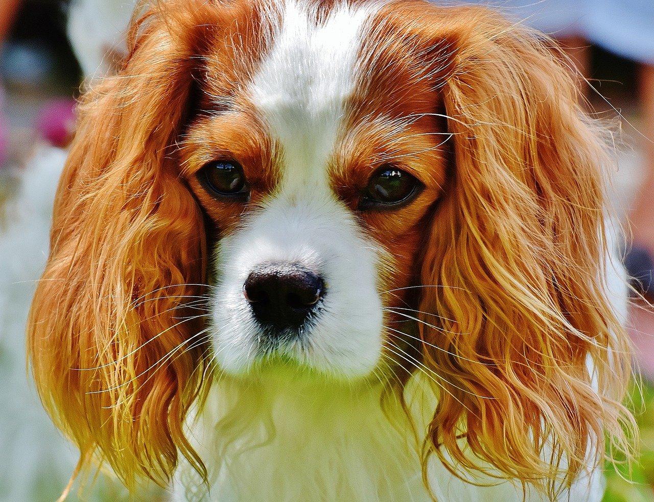 Quiz o rasach psów