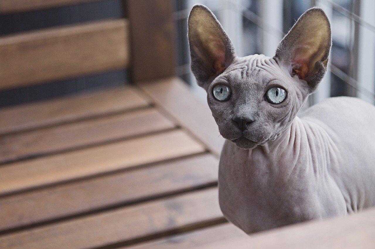 Zwierzęta domowe - quiz. Jak się nazywa ta rasa kota?