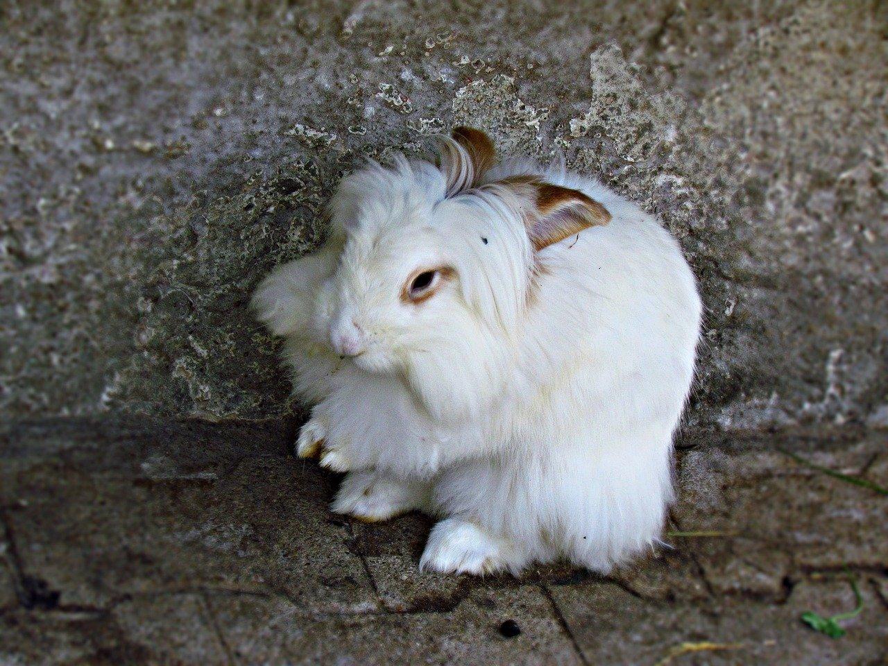 Quiz o królikach. Jakiej rasy jest królik na poniższym zdjęciu?