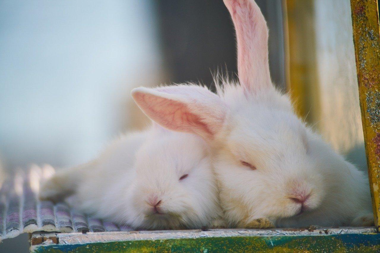 Quiz o królikach
