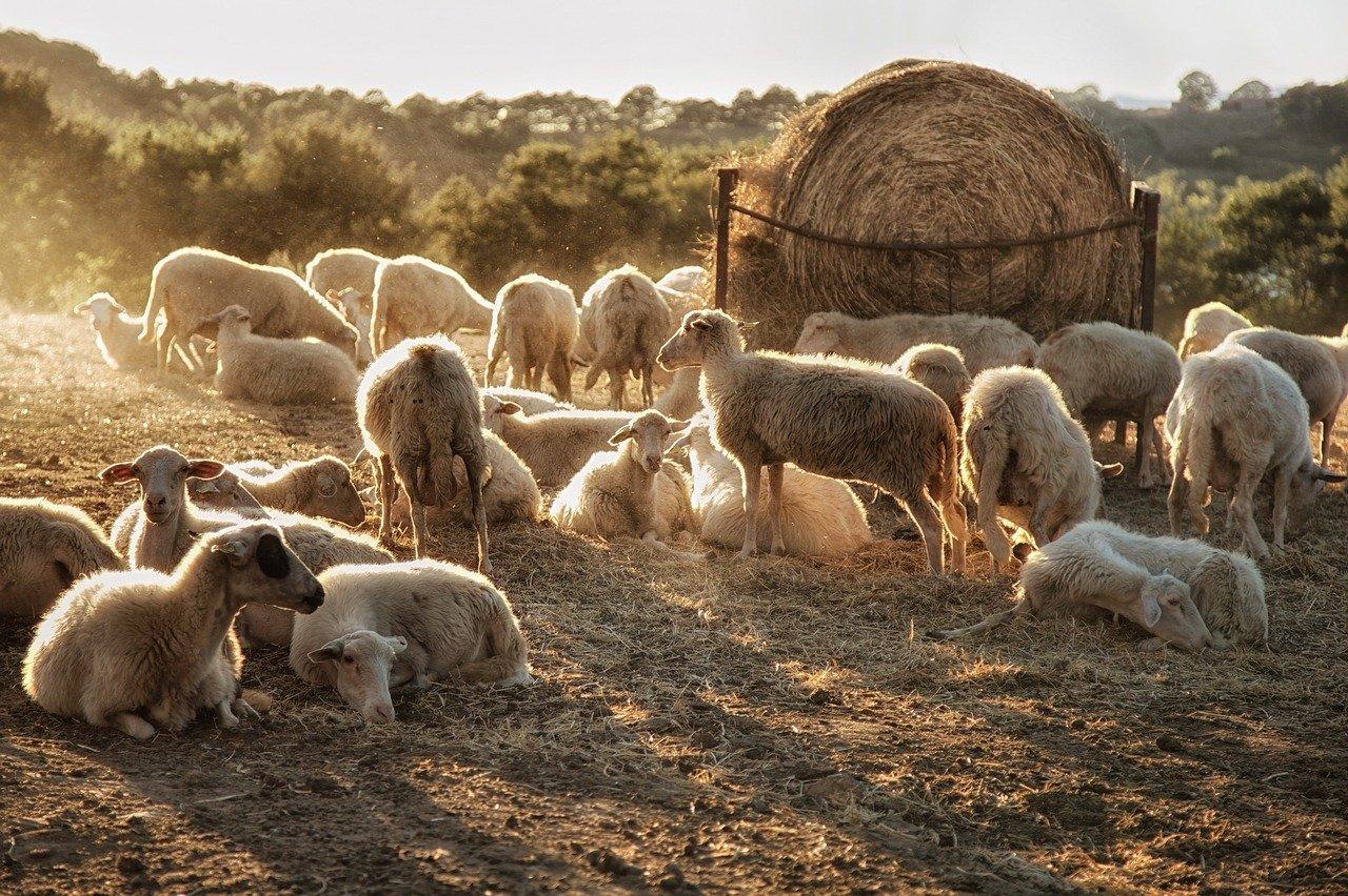 Jak robi owieczka? Odgłosy zwierząt - quiz dla maluszków