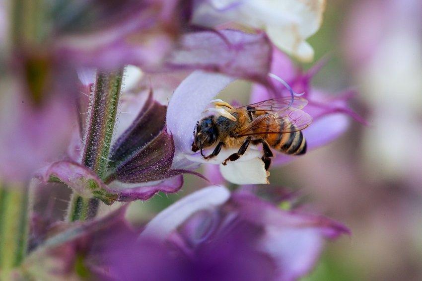 pszczoła zbiera nektar z kwiatów
