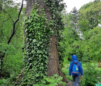 Botaniczne opowieści. Spacer rodzinny wśród drzew