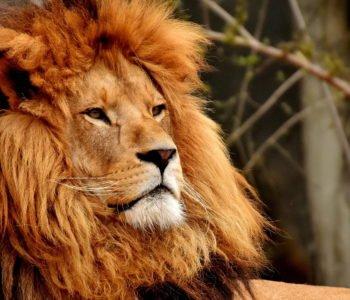Wiersz o lwie, wierszyki i rymowanki o zwierzętach