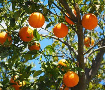 Les fruits – owoce – quiz z francuskiego