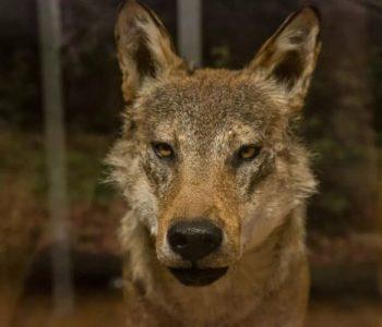 Wielka wyprawa wilka Alana – gra rodzinna. Bytom